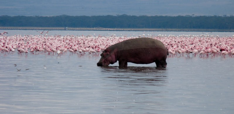 kenya hippo and flamingos in a river
