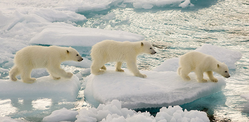 Picture yourself with polar bears   Intrepid Travel Blog