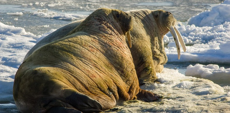 walrus of Svalbard Norwegian Arctic by Steve Davey
