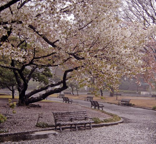 Beautiful cherry blossoms of Tokyo Japan