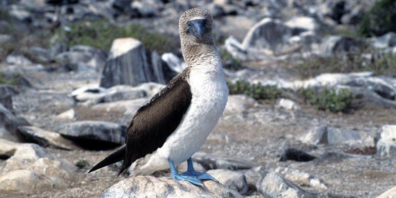 ecuador guide toursBlue-footed Booby (Sula nebouxii), Galápagos Islands, Ecuador