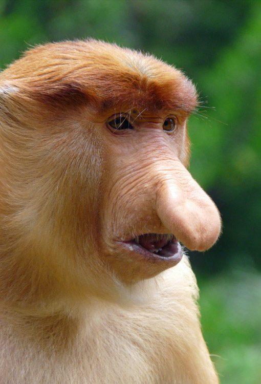 malaysia_labuk-bay-sanctuary_proboscis-monkey_Charlotte-Thompson