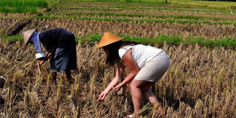 (resized)-yogyakarta-rice---credit credit Johan Wieland.jpg