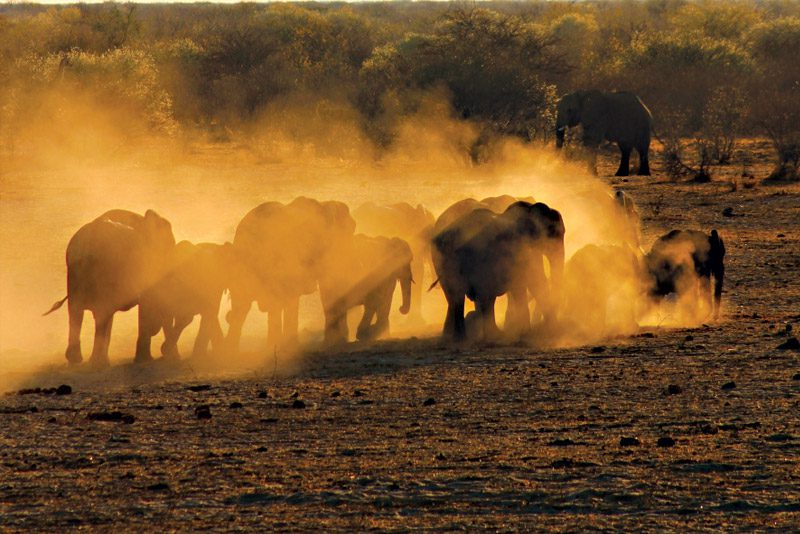 Namibia_elephants-dust-herd-moving-yellow-etosha-national-park_Rebecca-Dannock