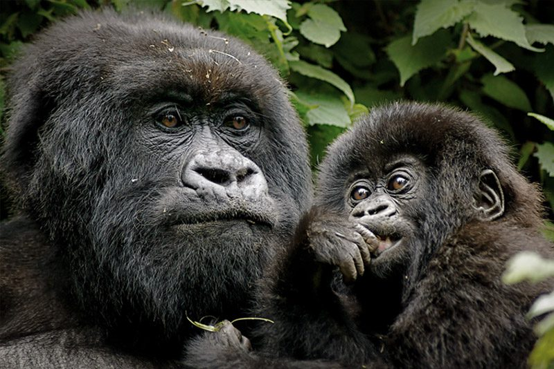 Uganda_gorilla-mother-baby-bwindi_Nick-Jackson