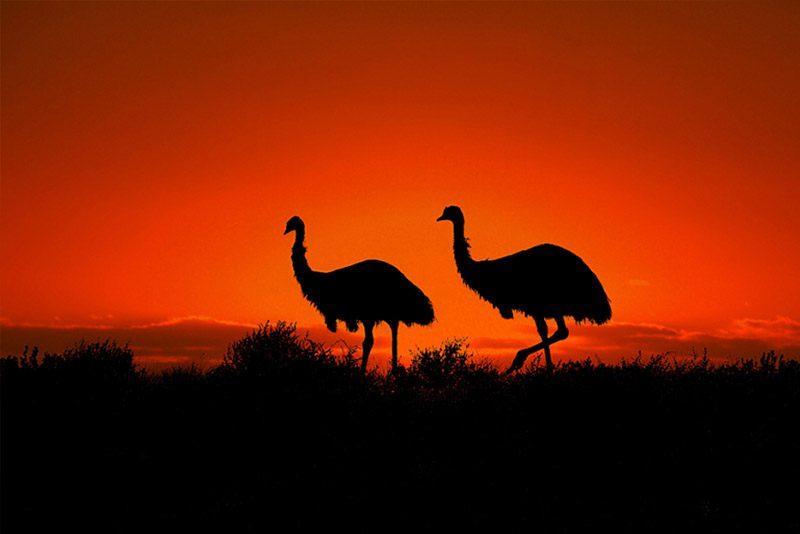 australia_emu-sunset-silhouette-Broken-hill_Paula-Mcmanus