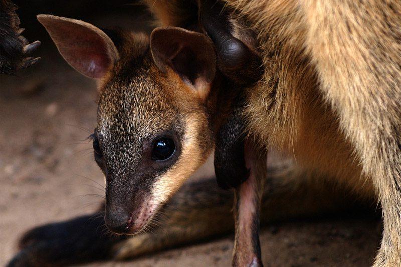 australia_joey-pouch-paw-adelaide_Paula-Mcmanus