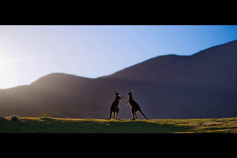 australia_kangaroo-sun-silhouette-Canberra_Seenivasan-Kumaravel