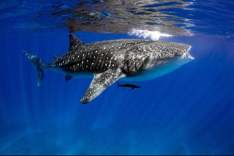 australia_whale-shark-diving-ningaloo-reef_Violeta-Jahnel-Brosig
