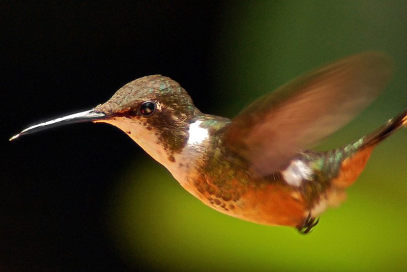 costa-rica_humming-bird-flying-monteverde_Nick-Jackson