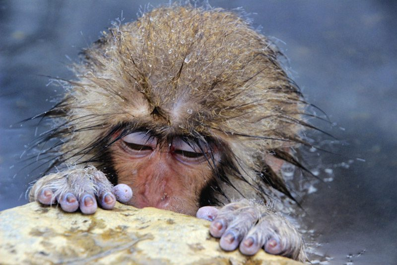 japan_macaque-water-fingers-wet-winner-sad-Jigokudani_Michael-Haiki