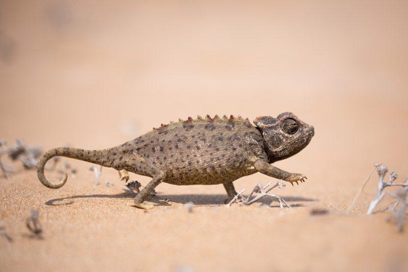 namibia_chameleon-shuffle-walking-sand-desert-windhoek_Scott-Laird