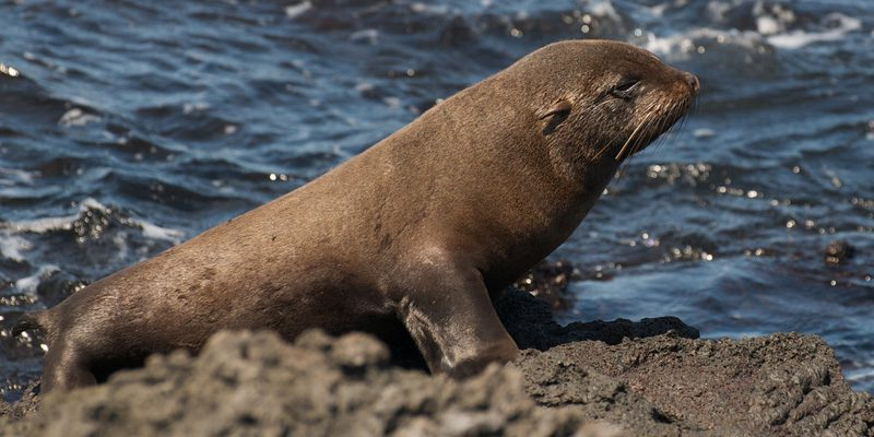 Team leader and all round star - the fur seal. Credit A.Davey, Flickr