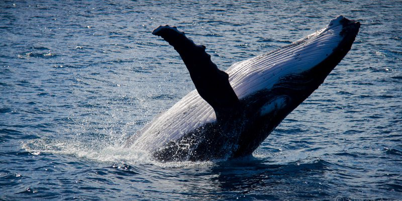 Humpback whales have linebacker written all over them, also some barnacles. Credit Simonag, Flickr