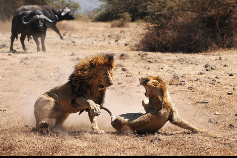 unknown_lion-fight_Danya-Schwertfegger