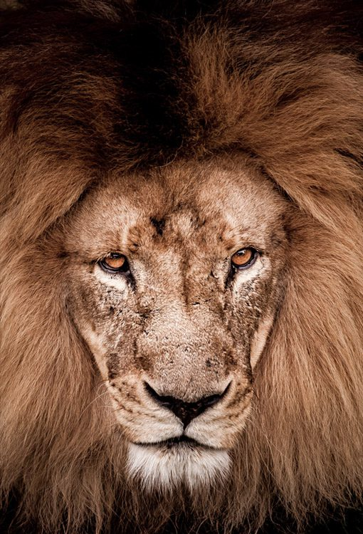unknown_lion-portrait-closeup-angry_Brett-Florence
