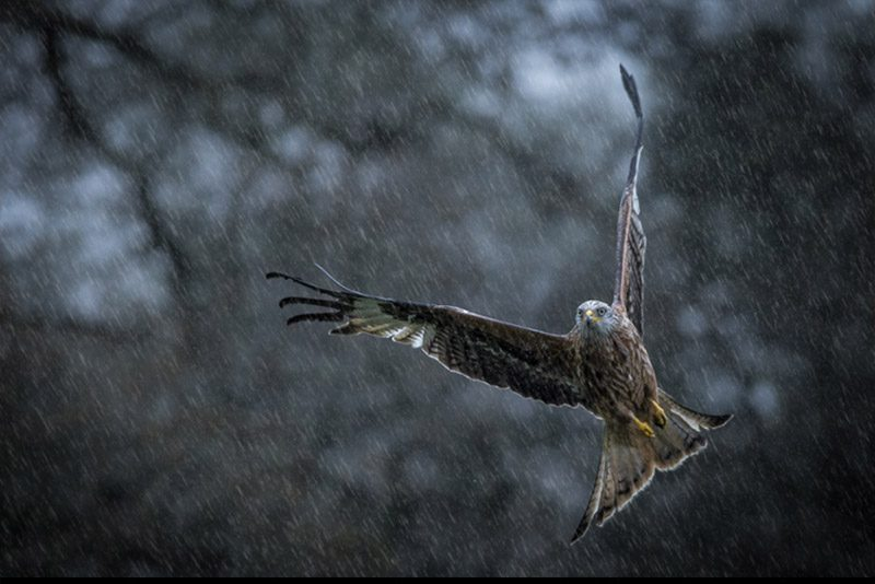 wales_Red-Kite-flying-rain_Dan-Robbins