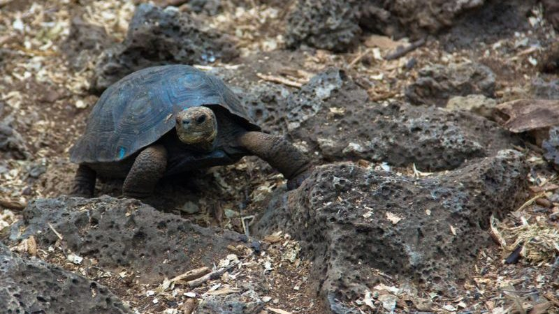 A tortoise in the Galapagos