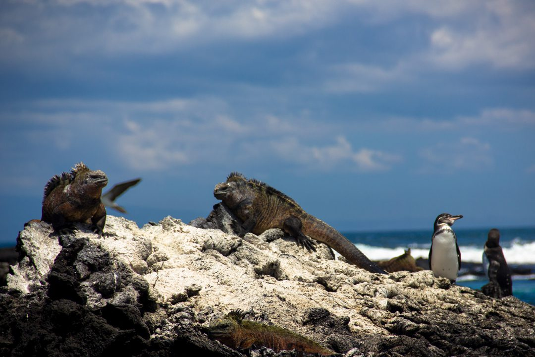 Iguanas and penguins in the Galapagos Islands