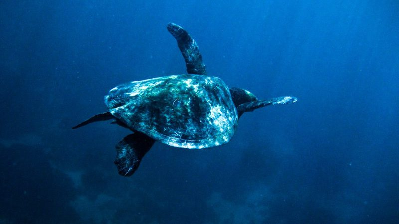 A sea turtle swimming over Ningaloo Reef. Image Michael Sale, Flickr