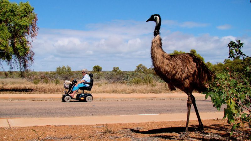 In Exmouth, seniors have right of way. Thanks, emu. Image The Inverted Zoo, Flickr