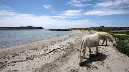 So there is an island in Sardinia full of miniature albino donkeys. This is not a drill.