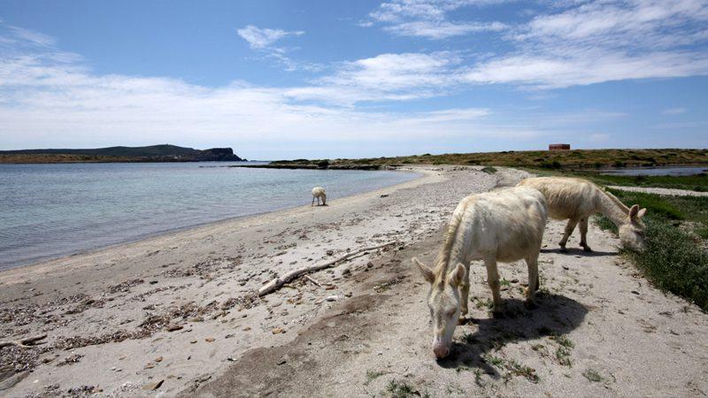 So there is an island in Sardinia full of miniature albino