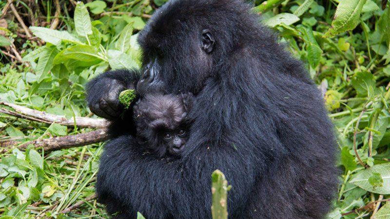 mountain-gorillas---amanda-3