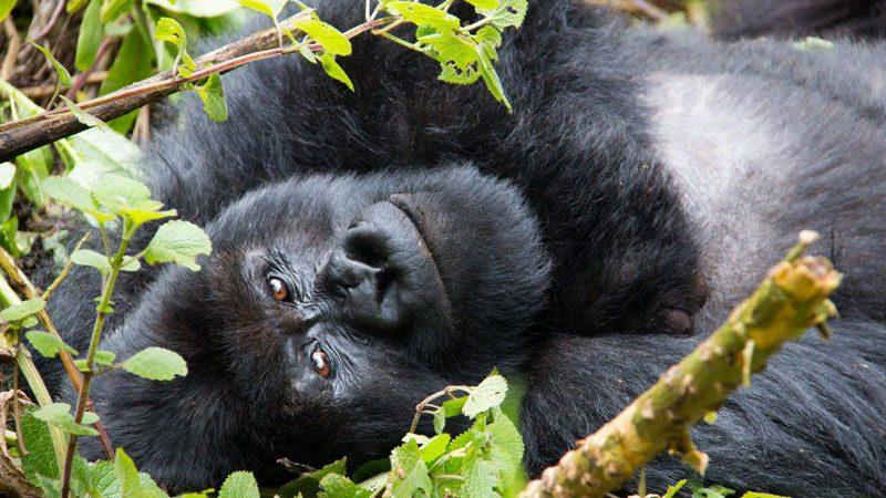 mountain-gorillas---amanda-6