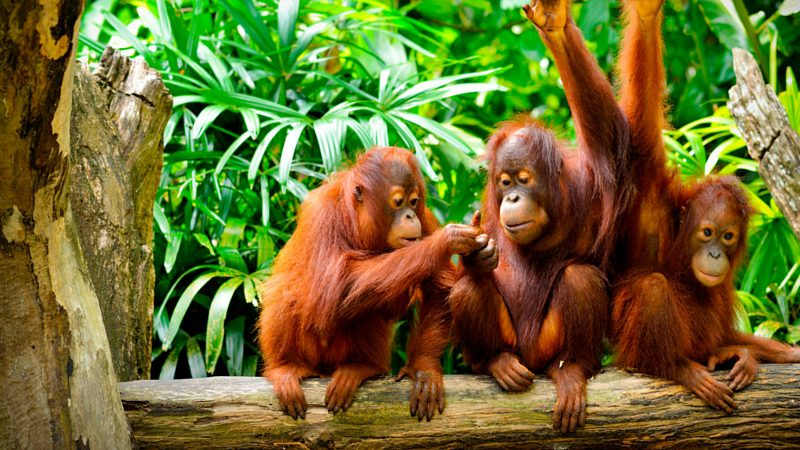 Best time to visit Asia - Happy orangutans, Borneo Asia