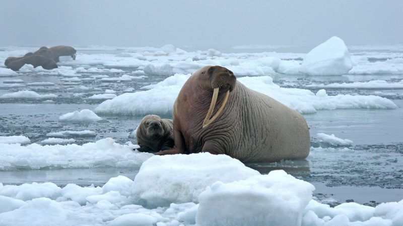 arctic wildlife ---US-geological-survey