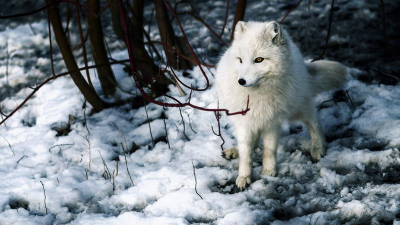 arctic wildlife ---garret-voight