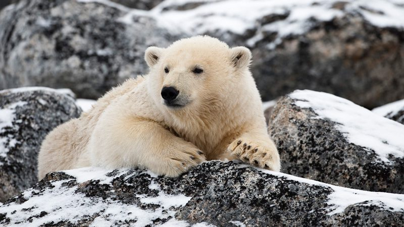 arctic wildlife ---stefan-cook