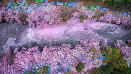 Cherry blossoms flooding this Tokyo lake will blow your mind
