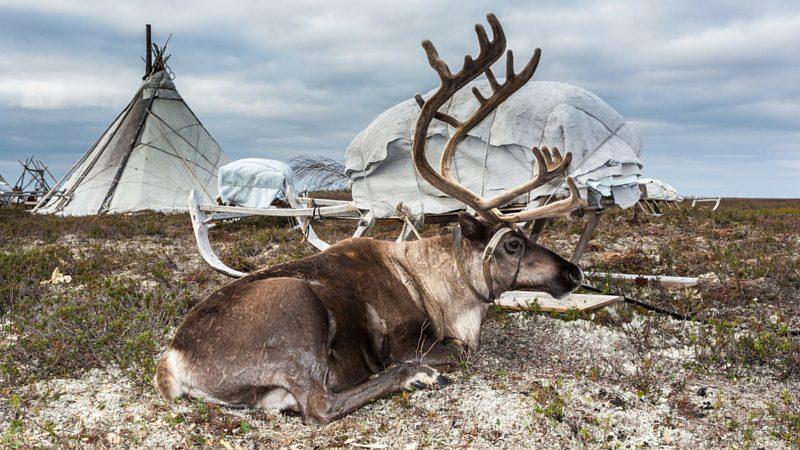 RUSSIA_Reindeer