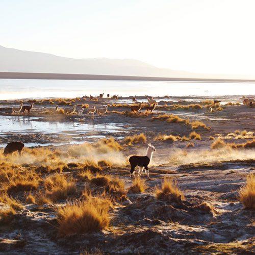 Bolivia-altiplano-guanacos---Tyson-Wheatley