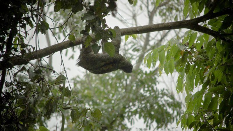 Costa Rica, Manuel Antonio, sloth ---Marco-Centola