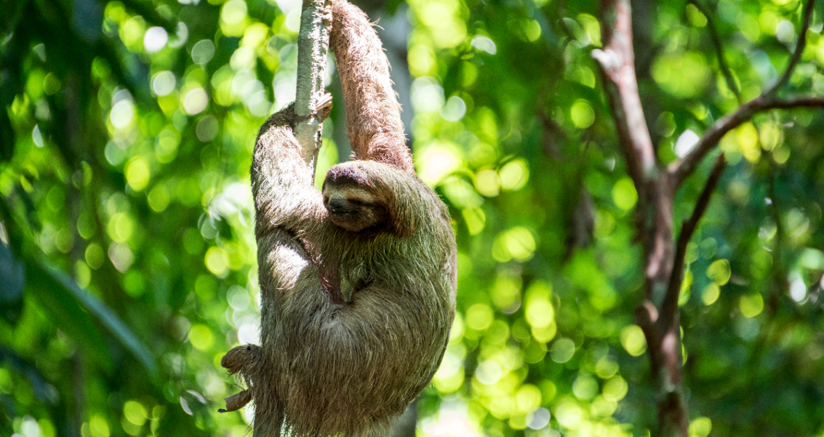 how to spot sloths in costa rica s cloud forests intrepid travel
