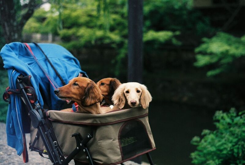 Japan dogs in pram on film - Gemma Saunders