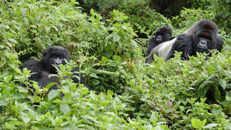 Ethical-animal-tourism,-gorillas-in-Rwanda---Joachim-Huber