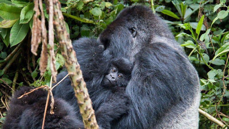 Gorilla-trekking,-Rwanda---Amanda-Linardon-2