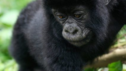 Everything you need to know about mountain gorilla trekking