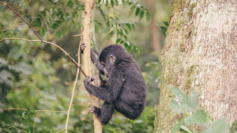 A baby gorilla in a tree