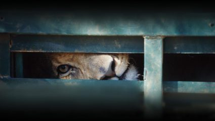 Blood Lions: The real story behind lion walks and canned hunting