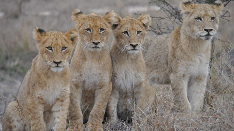 south-africa_sabi-sands-game-reserve_lion-cubs