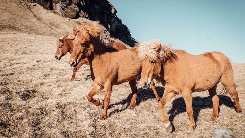 iceland-horses-unsplash