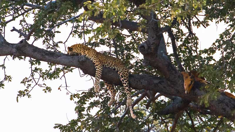 south-luangwa-leopard-common-wanderer
