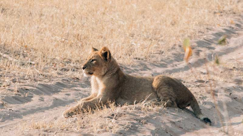 south-luangwa-lion-cub-common-wanderer