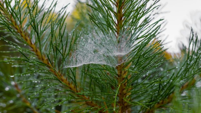 A spiderweb on a Christmas tree