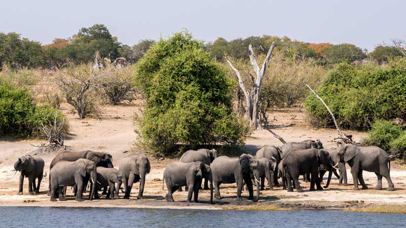 chobe-np-elephant-drinking-safari-the-common-wanderer